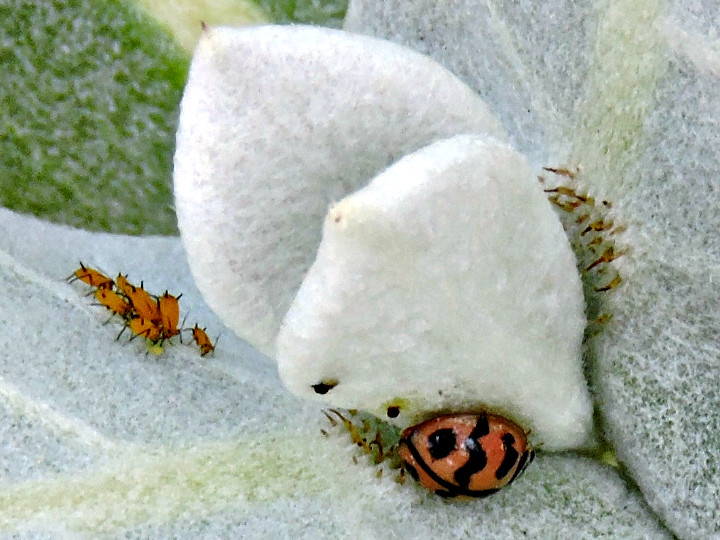 Aphids and Ladybird Beetle