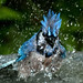 May 2, 2012 - 5:05am - blue jay bath