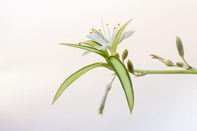 Planta cinta-Flor