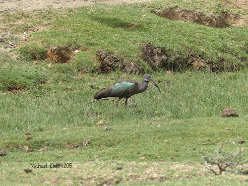 Hadeda Ibis - Enelerai, Kenya | by Michael W Klotz - The Bird Blogger.com