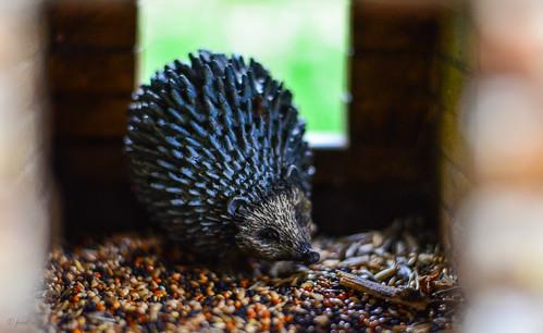 Igel Stolz im Vogelfutterhaus