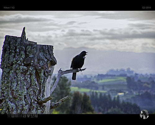 tree bird nature landscape song birdsong stump calling treestump v2 tui nikon1 tomraven aravenimage q22016