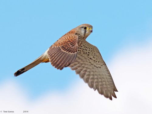 Common chestrel in flight | by Fraton