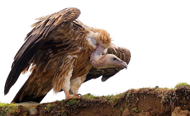Juvenile Himalayan Vulture, Tibet 2014