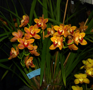 the 2015 pacific orchid exposition, Cymbidium (Karen x Ahchoo), winner, best Cymbidium by a commercial exhibitor