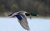 Mallard duck by canuck4everr
