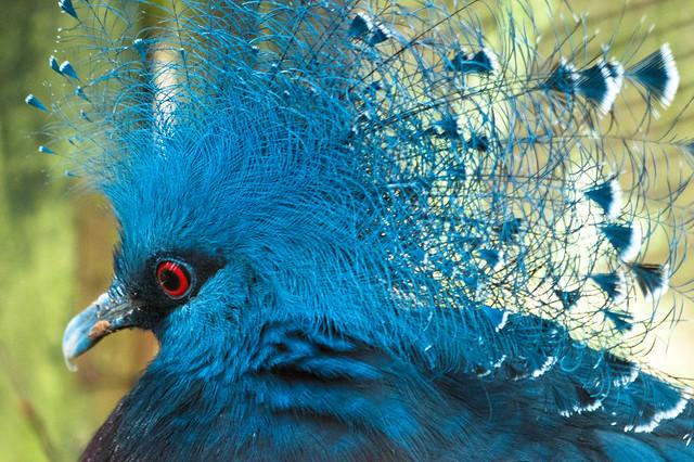 Victoria Crowned Pigeon (explored)