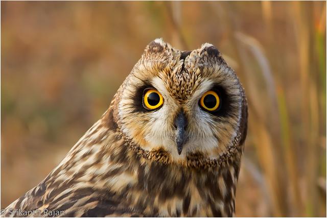 Short-Eared Owl #82
