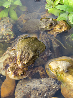 Toads in my pond in east London