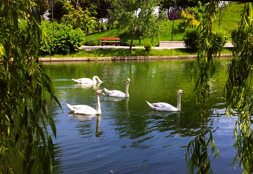 park lake swan waterbirds lebede parcultitan