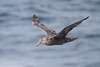 Southern Giant Petrel at Elephant Point IMG_0911 by grebberg
