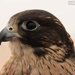 Young Falcon Portrait