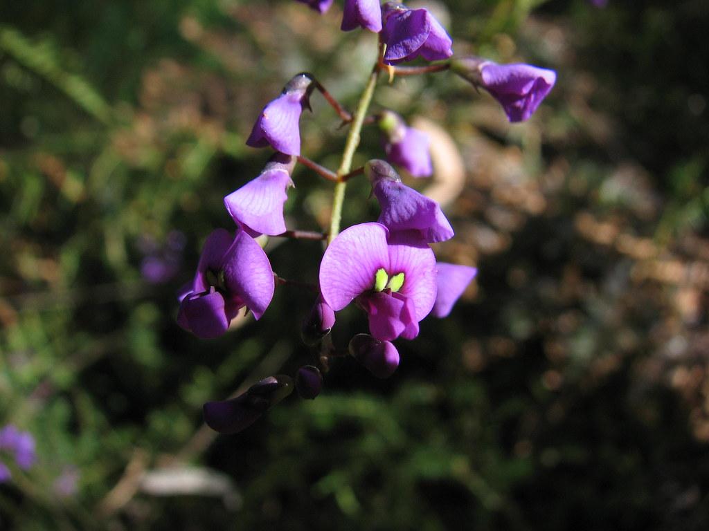 Hardenbergia violacea Joseph Banks Native Garden Kareela NSW 05082012 (2of3)