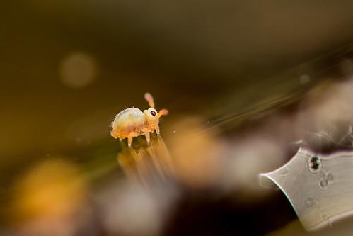 Sminthurides penicillifer (ca. 0,5mm) | by AndyLandgraf Makrofotografie