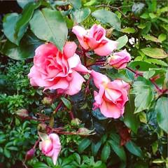 FiveSome of Roses #roses #pink #flowers #garden #irish #ireland #dublin #blackrock #monkstown #dunlaoghaire #tourism #hospitality #home