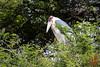 Marabou Stork (Leptoptilos crumenifer) by DragonSpeed