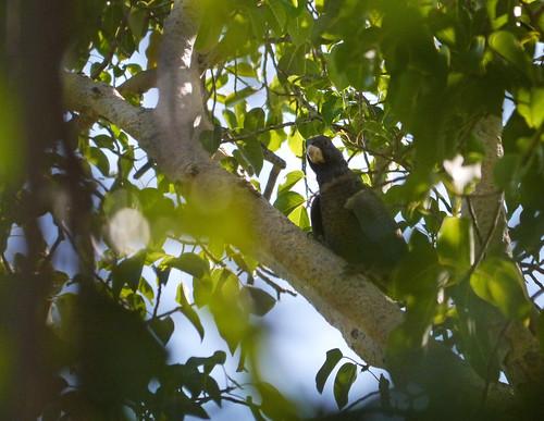 Greater vasa parrot (Coracopsis vasa), Lake Tsimanampetsotsa National Park