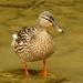 Pato-real | Mallard (Anas platyrhynchos)