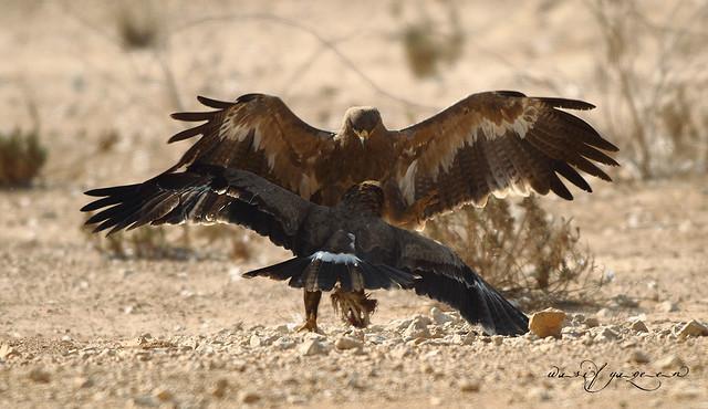 Tawny Eagle Fight