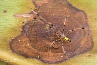 Comb-footed spider (cf. Thwaitesia sp.) - DSC_6560