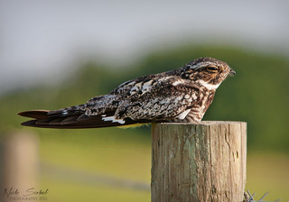 Common Nighthawk | by Nick Scobel