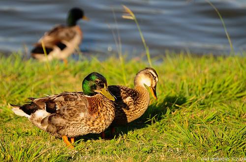 sunlight bird water grass birds duck feeding flight feathers ducks drake waterfowl hen avian goldenhour anasplatyrhynchos plumage animalworld