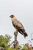 Tawny Eagle (Aquila rapax) Light Morph by DragonSpeed