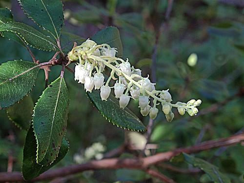 H20150312-0035—Comarostaphylis diversifolia ssp planifolia—RPBG