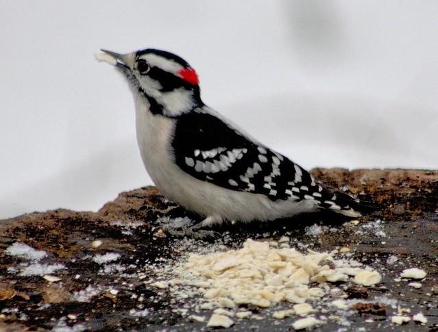 Pic mineur --- downy woodpecker