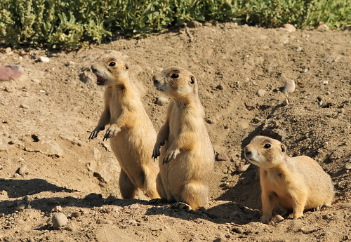 White-tailed Prairie Dog on Seedskadee National Wildlife Refuge
