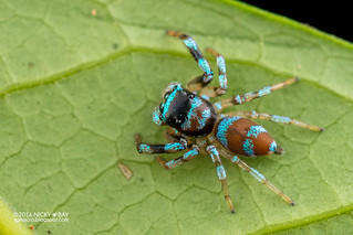 Jumping spider (Thiania sp.) - DSC_7820