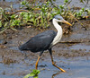 Pied Heron (Egretta (Ardea) picata) (adult).01 by Geoff Whalan