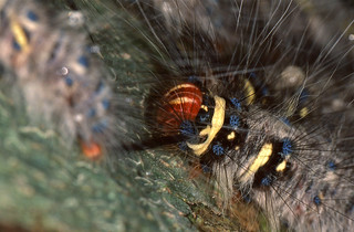 Rose-myrtled Lappet Moth (Trabala vishnou) caterpillar
