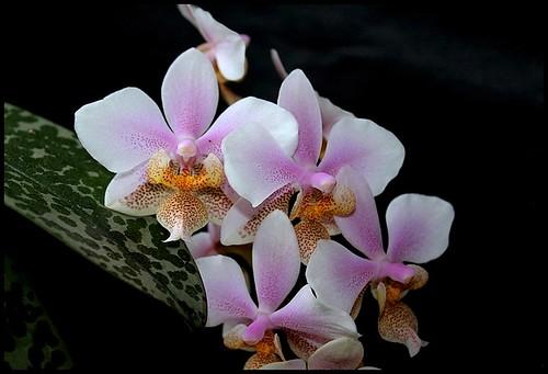 Phalaenopsis wiganiae 21153603049_018db627ed
