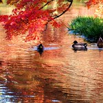 京都府立植物園の池で遊ぶ鴨