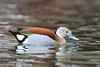 Ringed Teal male by Johannes D. Mayer