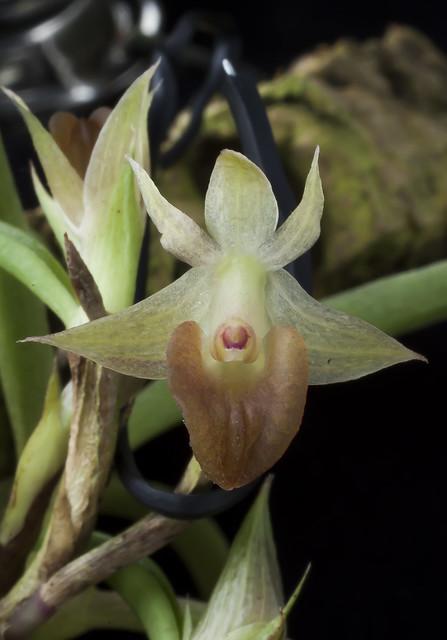 Epidendrum sophronitoides
