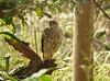 Shikra (Accipiter badius) by Francisco Piedrahita