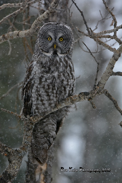 Great Gray Owl DSC_0328