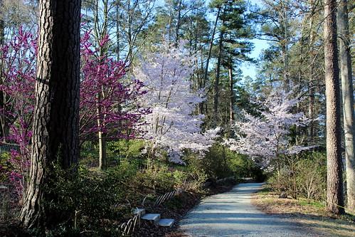 easter northcarolina cherryblossoms sarahdukegardens walkinthelight