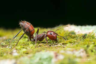 Ant (Colobopsis sp.) - DSC_4902