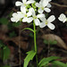 Cardamine bulbosa - Photo (c) Philip Bouchard, algunos derechos reservados (CC BY-NC-ND)