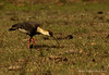 Coclí - Theristicus caudatus - Buff-Necked Ibis by JUANWILCHES
