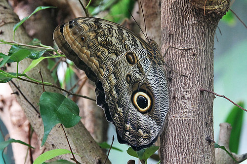 Giant Owl Butterfly, Victoria Butterfly Gardens, Brentwood Bay, Vancouver Island, British Columbia
