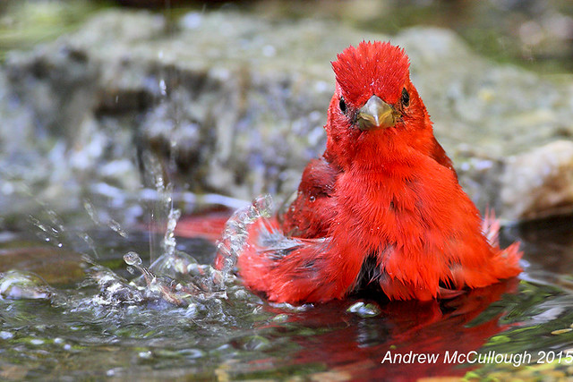 Summer Tanager Male Taking a Bath
