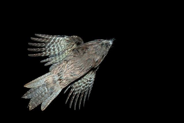 Tawny Frocket