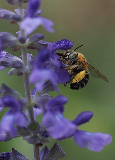 Blue-banded Bee and Salvia 'Mystic Spires'