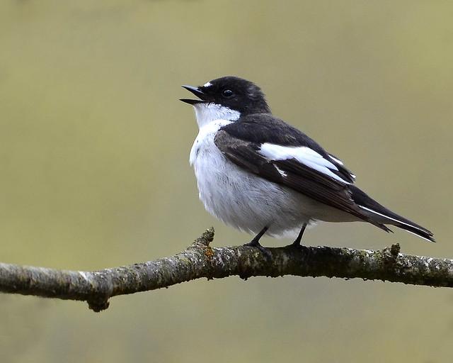 Pied Flycatcher (Carole's) (Explore)