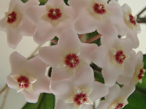 Hoya | by hawken.carlton
