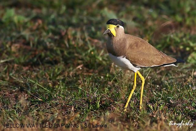 (458b) Yellow-Wattled Lapwing - [ Yala National Park, Sri Lanka ]